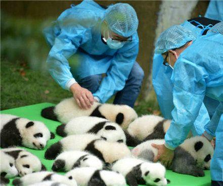 """成都23只大熊猫幼仔集体亮相上演""""熊猫瘫""""(图)"""